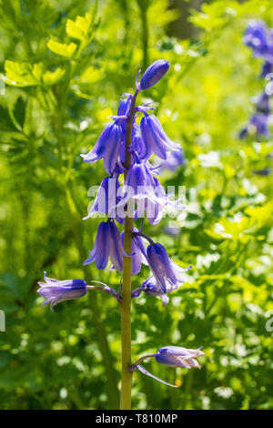 A close up of some beautiful bluebell flowers growing wild in a north east Italian garden - Stock Image