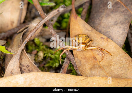 Colour macro photograph of head-on brown Crab spider (Misumena vatia) on leaf in defensive stance. Poole, Dorset, England. - Stock Image