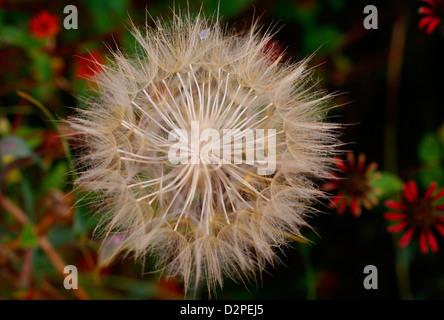 Seed Globe Closeup: Salsify - Tragopogon porrifolius, (Sunflower Family, Asteraceae). Central Europe (Native). - Stock Image