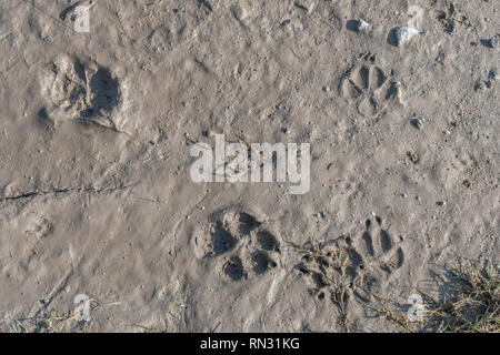 Dog paw prints on muddy footpath. Metaphor pet ownership, dog ownership. - Stock Image