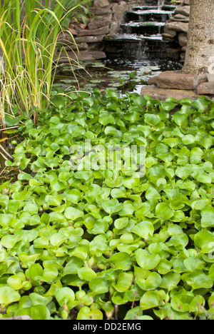 Lush water plants carpet the pond at Koi Gardens, Spokane, Washington State, USA. - Stock Image