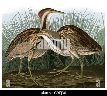 American Bittern, Botaurus lentiginosus, birds, 1827 - 1838 - Stock Image