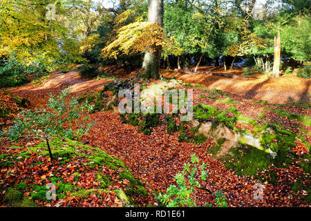 Glistening, golden trees and tree roots in a forest in the autumn, running through the middle of the trees is a autumn leaf covered pathway, fall, lig - Stock Image