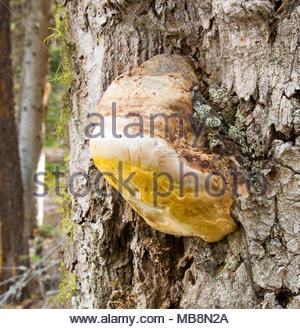Laricifomes officinalis fungus growing on a standing dead Douglas fir, near Kaiser Lake, in Granite County, Montana. Also known as Fomitopsis officina - Stock Image