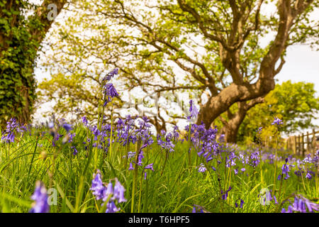 Creative colour landscape photograph with in-focus spanish bluebells in foreground and windswept trees in background, Taken in Poole, Dorset, England. - Stock Image