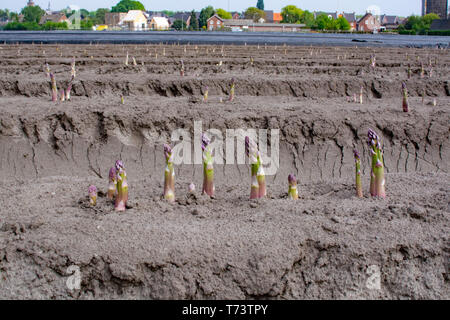 New harvest season on asparagus vegetable fields, white and purple asparagus growing uncovered on farm, agriculture in Netherlands - Stock Image