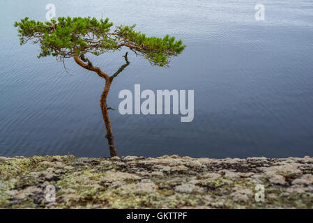 Bent pine tree on the cliff near water - Stock Image