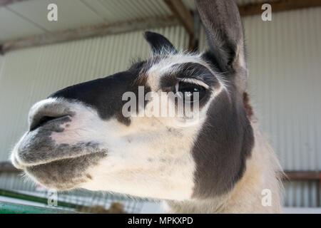 Close up of head of a Llama in an indoors enclosure at a pet farm - Stock Image