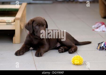 Brown Labrador Retriever, puppy lying on tiles - Stock Image