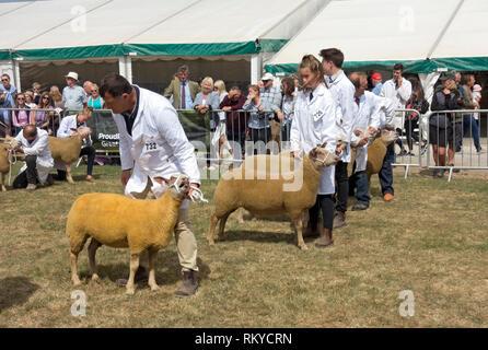 British Charollais sheep judging at the Great Yorkshire Show. - Stock Image