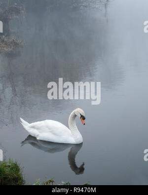 Mute Swan in the River Suir on a foggy morning, Cahir, Tipperary, Ireland - Stock Image