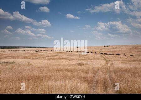 A line of wildebeest migrate across Kenya into Tanzania. - Stock Image