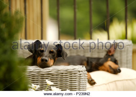 Two pet dogs, Manchester Terriers, lying down relaxing on garden furniture. One, facing the camera, has Both eyes closed. - Stock Image