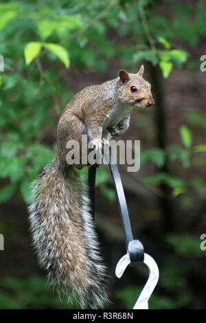 A squirrel perches on an iron pole in a backyard - Stock Image