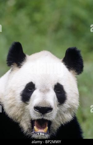 Giant panda showing clown-like face, Wolong,  China - Stock Image