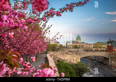 Budapest, Hungary - The famous Buda Castle Royal Palace on a Spring afternoon with blooming cherry blossom at foreground - Stock Image