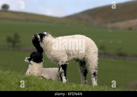 two Swaledale lambs rubbing noses, Yorkshire Dales, England - Stock Image