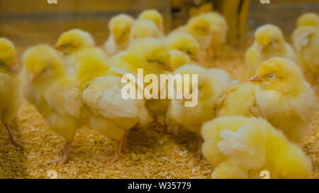 Group of baby chickens on farm - Stock Image
