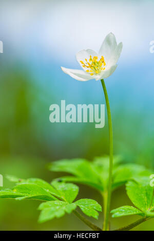 White wood anemone - Stock Image