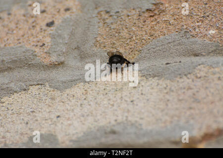 Female hairy-footed flower bee (Anthophora plumipes) entering a nest hole in the mortar between the bricks in the wall of a house - Stock Image