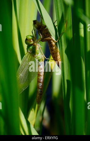 Dragonfly emerging from nymph - Stock Image