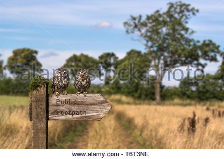 Little owls (Athene noctua), captive, on footpath sign, Cumbria, UK, - Stock Image