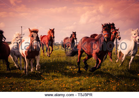 Horses gallop over the paddock - Stock Image