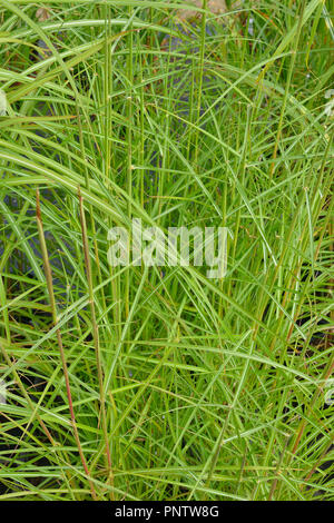 Close up of the grass Miscanthus sinensis 'Nippon' - Stock Image