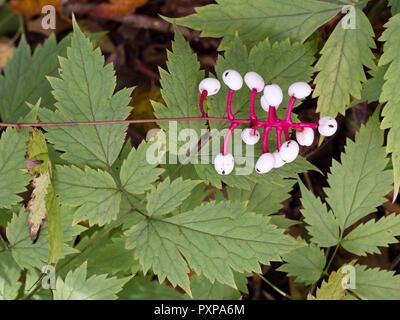 Autumn berries of the hardy perennial woodland white baneberry, Actaea pachypoda - Stock Image