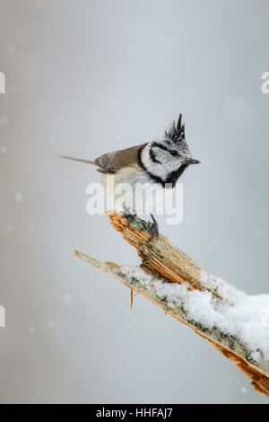 European crested tit, Latin name Lophophanes cristatus, perched on an old tree snag during a snow shower - Stock Image
