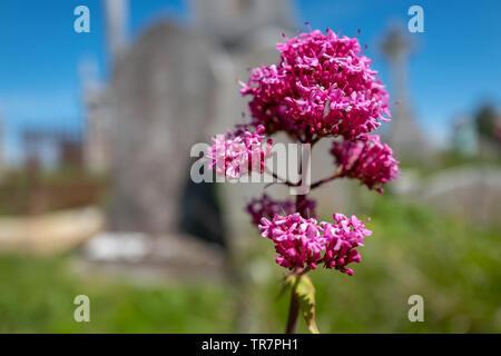 Wild flowers at Portland, Dorset - Stock Image
