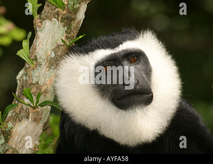 Black and White Colobus monkey Baobeng Fiema Ghana - Stock Image