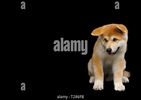 Shy Akita Inu Puppy Sitting with head down on Isolated Black Background, front view - Stock Image