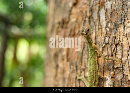 A Draco Lizard aka Flying Dragon ( Draco volans ) clings to the bark of a large tree trunk. - Stock Image