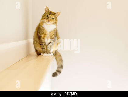 A tabby cat sat on a small shelf looking curiously at the photographer - Stock Image