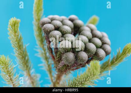 single stem many round flower heads, brunia albiflora still life blue background - strength and abundant Jane Ann - Stock Image