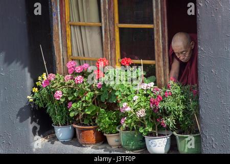 Old Tibetan Buddhist monk looking at his window garden in Jokhang temple complex, Lhasa, Tibet. - Stock Image