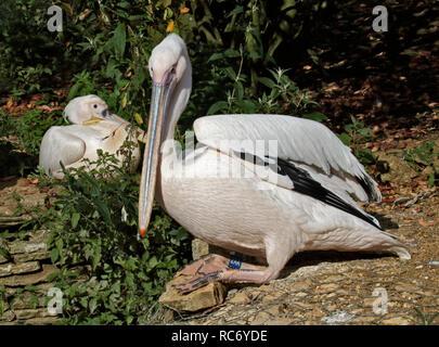 Eastern White Pelican (pelecanus onocrotalus) - Stock Image