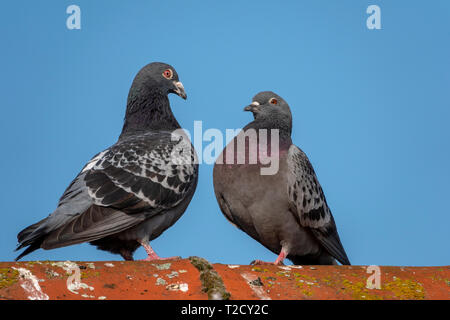 Two rock pigeons facing each other on a roof ridge - Stock Image