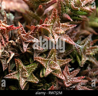 Reddish-Brown Star-Shaped Succulent Plants with White Thorns - Stock Image