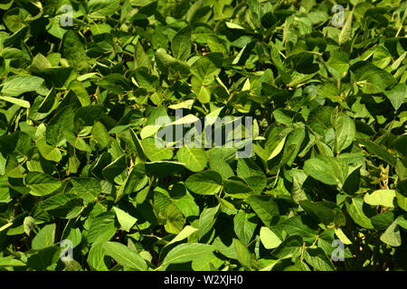 soy field with young soy plants grow in bavaria at july, vegetable protein plants soybbean before flowering - Stock Image