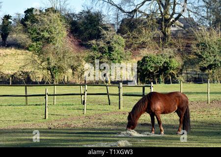 Horse grazing in a field, Chawton, near Alton, Hampshire, UK. - Stock Image