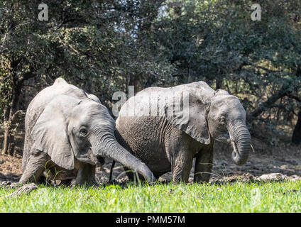 Pair of elephants in a mud pool - Stock Image