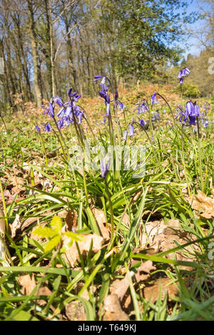 Bluebell (Hyacinthoides non-scripta) in woodland setting Herefordshire UK. April 2019 - Stock Image