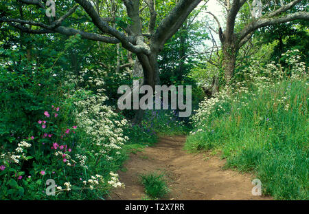 springtime in Mottistone Woods,  footpath leading to Tennyson Down, Isle of Wight, England - Stock Image