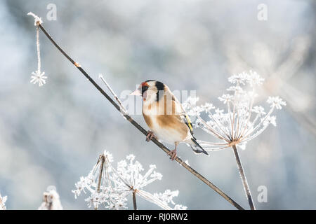 Goldfinch - Carduelis carduelis -  in winter perching on a beautiful frost covered fennel plant - Scotland, UK - Stock Image