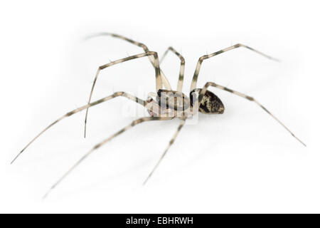 A male Invisible spider (Drapetisca socialis) on a white background. Part of the family Linyphiidae - Sheetweb weavers. - Stock Image