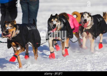 Geir Idar Hjelvik's Dog Team Races Along The Tanana River In Fairbanks During The 2017 Iditarod. - Stock Image