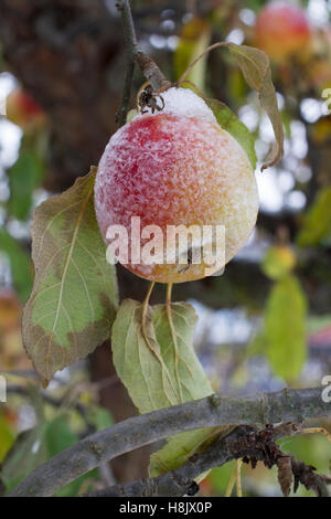 Frosty apple - Stock Image