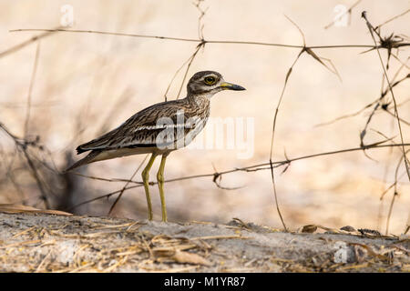 Profile of Eurasian Stone-curlew, Burins oedicnemus, standing on the ground in Bandhavgarh National Park, Madhya - Stock Image